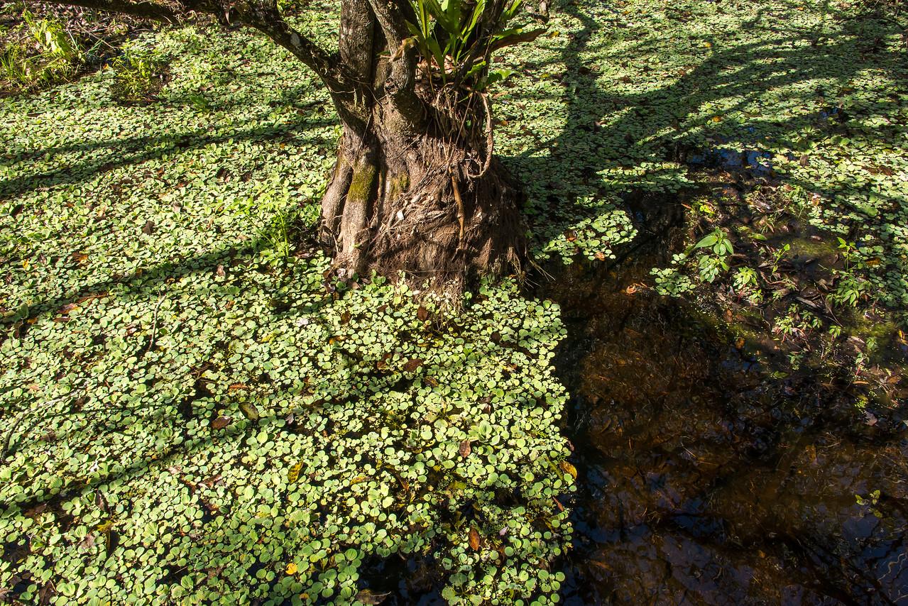 Water Lettuce in Corkscrew Swamp Sanctuary, FL - January 2018