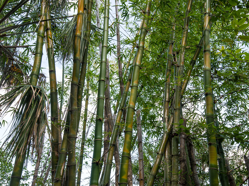 Bamboos at Koreshan State Historic Site, FL - January 2018