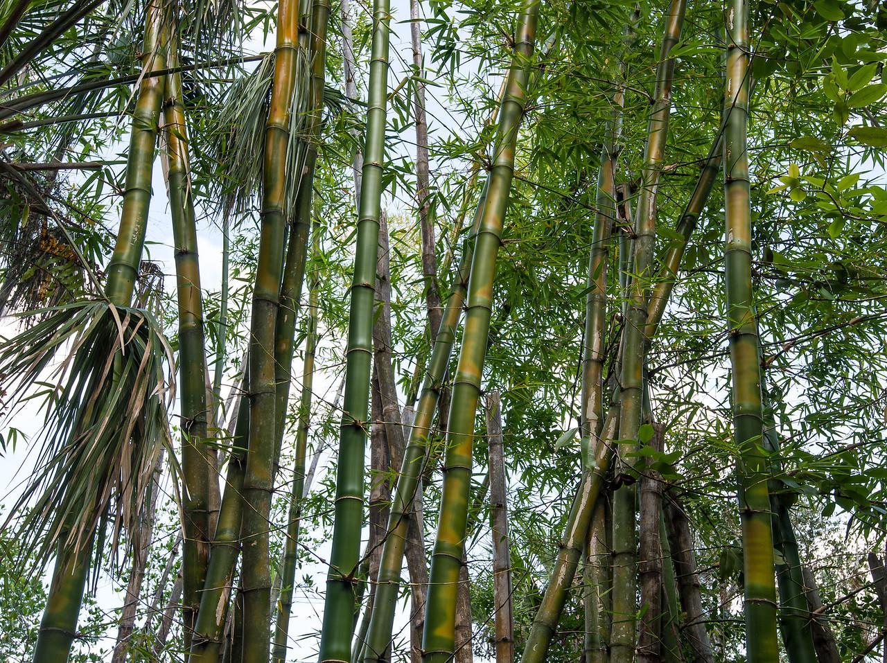 Bamboos at Koreshan State Historic Site, FL - January 2018