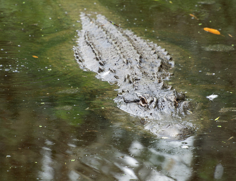 Alligator near Withlacoochee River. He was a nice big beauty. Captured with the Olympus OM-D.