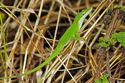 Green Lizard ~ This bright green lizard was at the side of a path on Key Largo.  He was very fast, but did allow two shots before he disappeared.