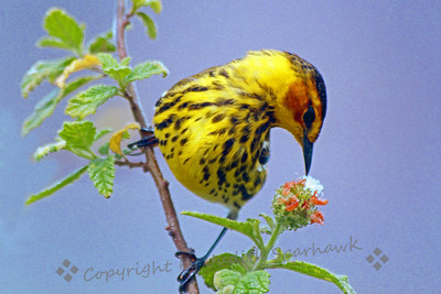 Cape May Warbler ~ I love these beautiful little birds.  They were migrating through the Keys while I visited there.