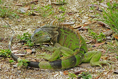 Green Iguana ~ This small iguana was about two feet long, and eating plants on the grounds of Ft. Zachary Taylor State Park on Key West.  I liked his color and patterns, and in this shot, his circular position, to see the full extent of his long tail.