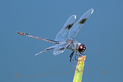 Male Four-Spotted Pennant