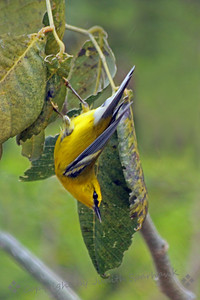 Blue-winged Warbler ~ This pretty warbler was photographed at Ft. Zachary Taylor State Park on Key West, Florida.  This was my first sighting of this species.  It was very acrobatic, and I had shots of it upside down and every which way before I got this one that actually show what bird it is.