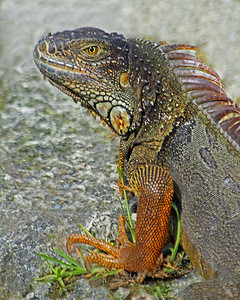 Key West Iguana ~ This pretty iguana was in a botanical garden on Key West.  I liked his colors and the brightness of his eye.