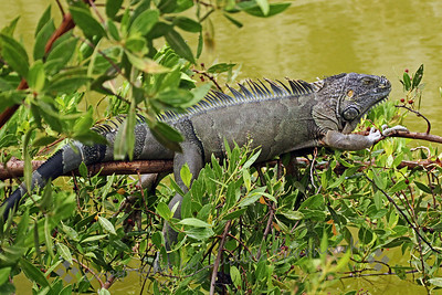 Hangin' in the Mangroves ~ This iguana was about 6 feet long, and was sunning on top of the mangroves over the water at Ft. Zachary Taylor State Park on Key West.