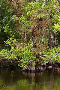 Mangrove Swamp ~ This spot was in Big Cypress Swamp, on a back road, with views of the mangroves, alligators, and birds everywhere.