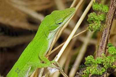 Green Lizard Portrait ~ I loved the bright color and the texture of this lizard's skin.  It was photographed on Key Largo.  This shows best at larger sizes.