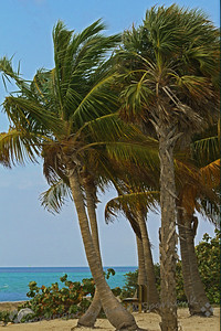 Palms on the Beach ~ These coconut palms overlook the beautiful turnquoise water.