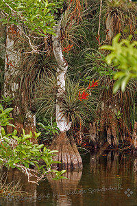 Air Plants in the Mangroves ~ The various epiphytes living in the trees had red blooms and added a touch of color to the mostly green and brown landscape.