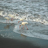 Birds feed in the surf