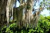 Spanish Moss - Royal Palm Area