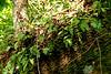 Resurrection Fern - Gumbo Limbo Trail