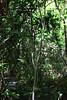 Strangler Fig - Gumbo Limbo Trail