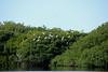Wood Storks at Paurotis Pond