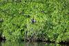 Anhinga at Paurotis Pond