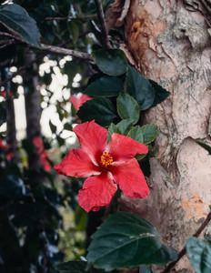hibiscus-t0163