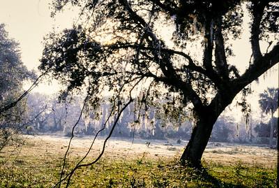 southern_oak-t0130