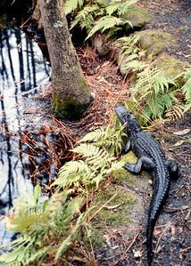 alligator-t0103