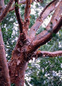 red_bark_tree-t0159