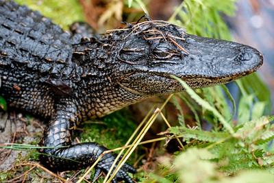 alligator-t0104
