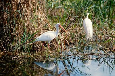 ibis-t0151