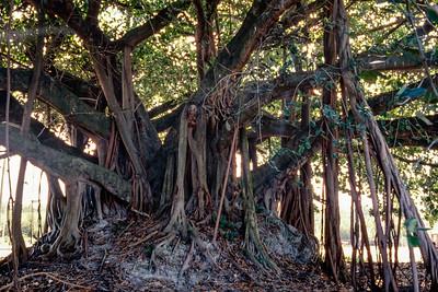 fig_tree-t0165