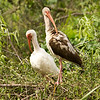 adult and junevile ibises