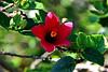 Hibiscus boryanus