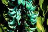 Jade Vine on the Vine Pergola