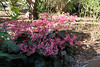 'Selph's Mahogany' Begonia