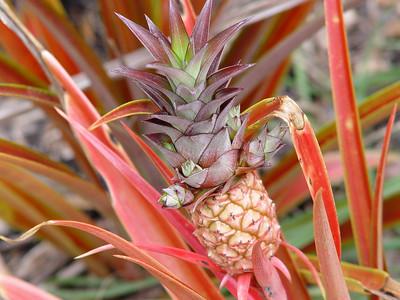 Decorative Pineapple