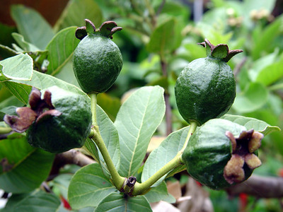 Guava 'Giant Bangkok'