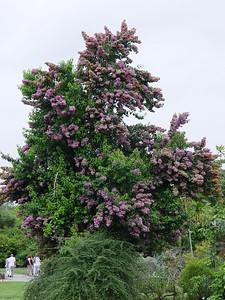 Bougainvillea Arborea