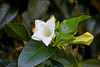 Portlandia platantha aka Portlandia albiflora