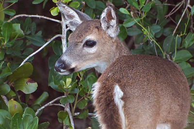 Young Key Deer.  No Name Key, Florida