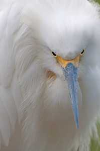 Snowy Egret. Tavernier Key, Florida