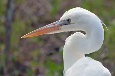 Great White Heron. Tavernier Key, Florida