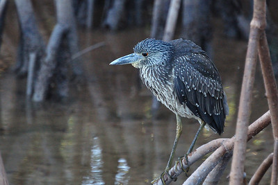 An immature Yellow Crowned Night Heron