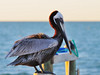 At the Topsider's dock, this is a fully mature breeding Brown Pelican in winter plumage.