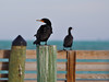 The next morning the pelicans were replaced with cormorants......
