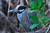 This Yellow Crowned Night Heron looks rather fierce when he fluffs up his crown.