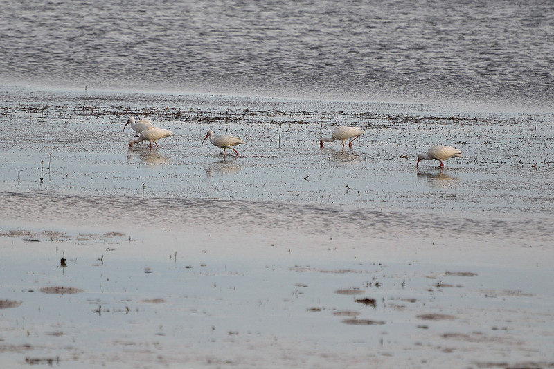White Ibis at low tide.
