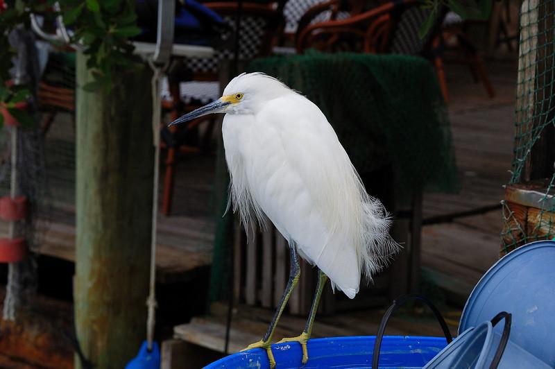 A Snowy Egret at Robbie's Pier, Islamorada