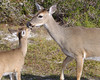 Key Deer Refuge, Big Pine Key