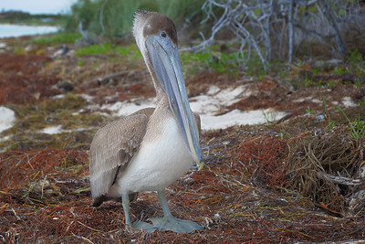 Along the beach we came across this immature Brown Pelican.