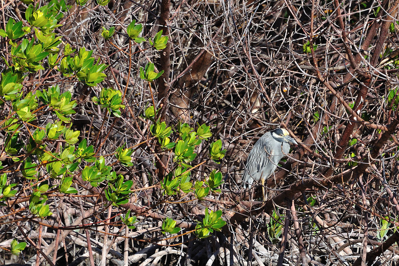 A Yellow Crowned Night Heron waiting for low tide in the mangroves.