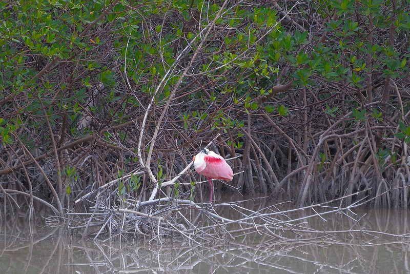 We watched this mature Roseate Spoonbill for a 1/2 hour from the boardwalk but it never raised it's head.