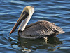 Brown Pelicans are everywhere, almost as common as Turkey Vultures but much prettier.  This was one of several at a dockside restaurant in Key Largo where we stopped on the way down to Islamorada from Miami Airport.